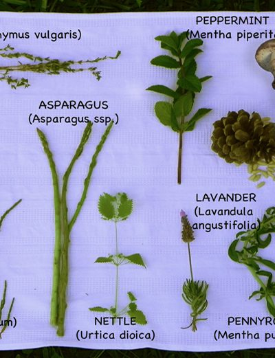 Examples of foraged wild foods